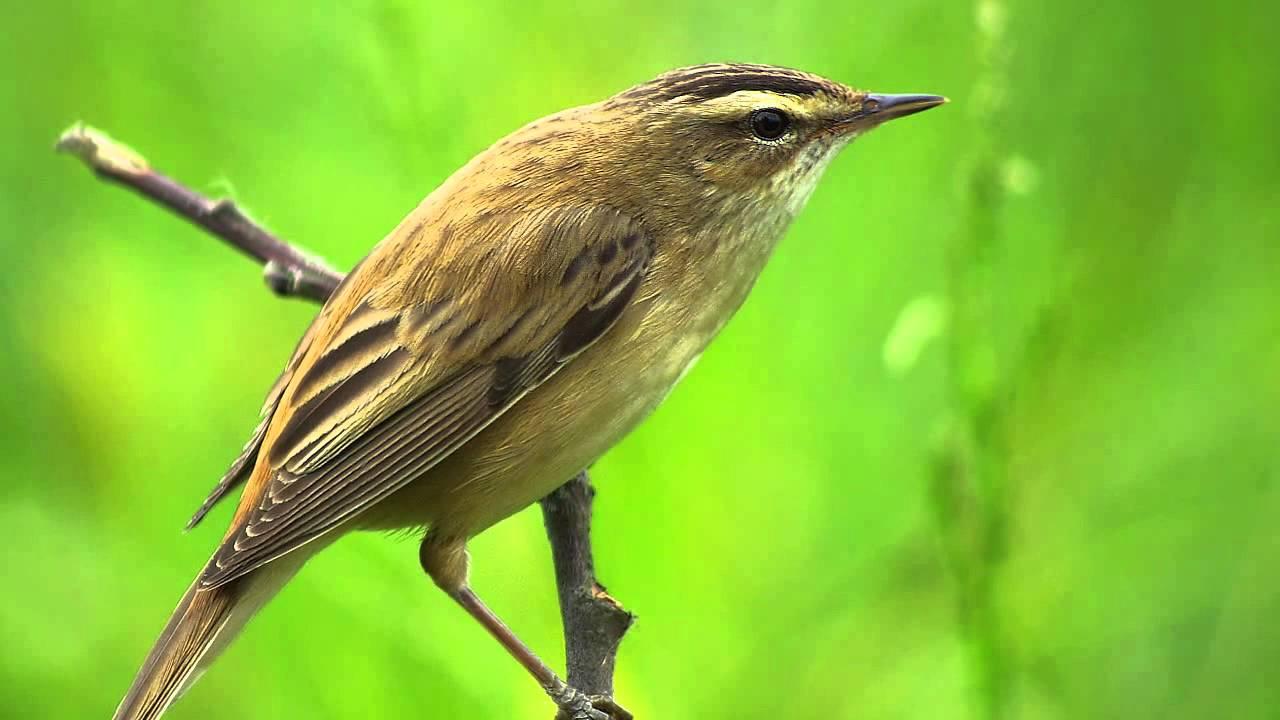Звуки природы! Камышовка - барсучок. Красивое пение птиц - Голоса птиц