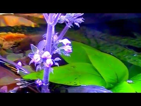 Цветение Hygrophila corymbosa