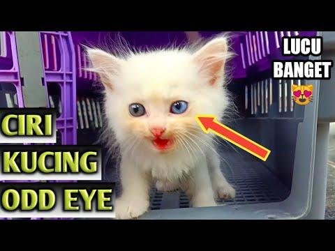 Cara Mudah Melihat Ciri Kucing Odd Eye Youtube