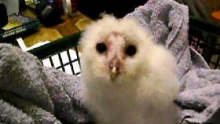 Metro The Barn Owl 6