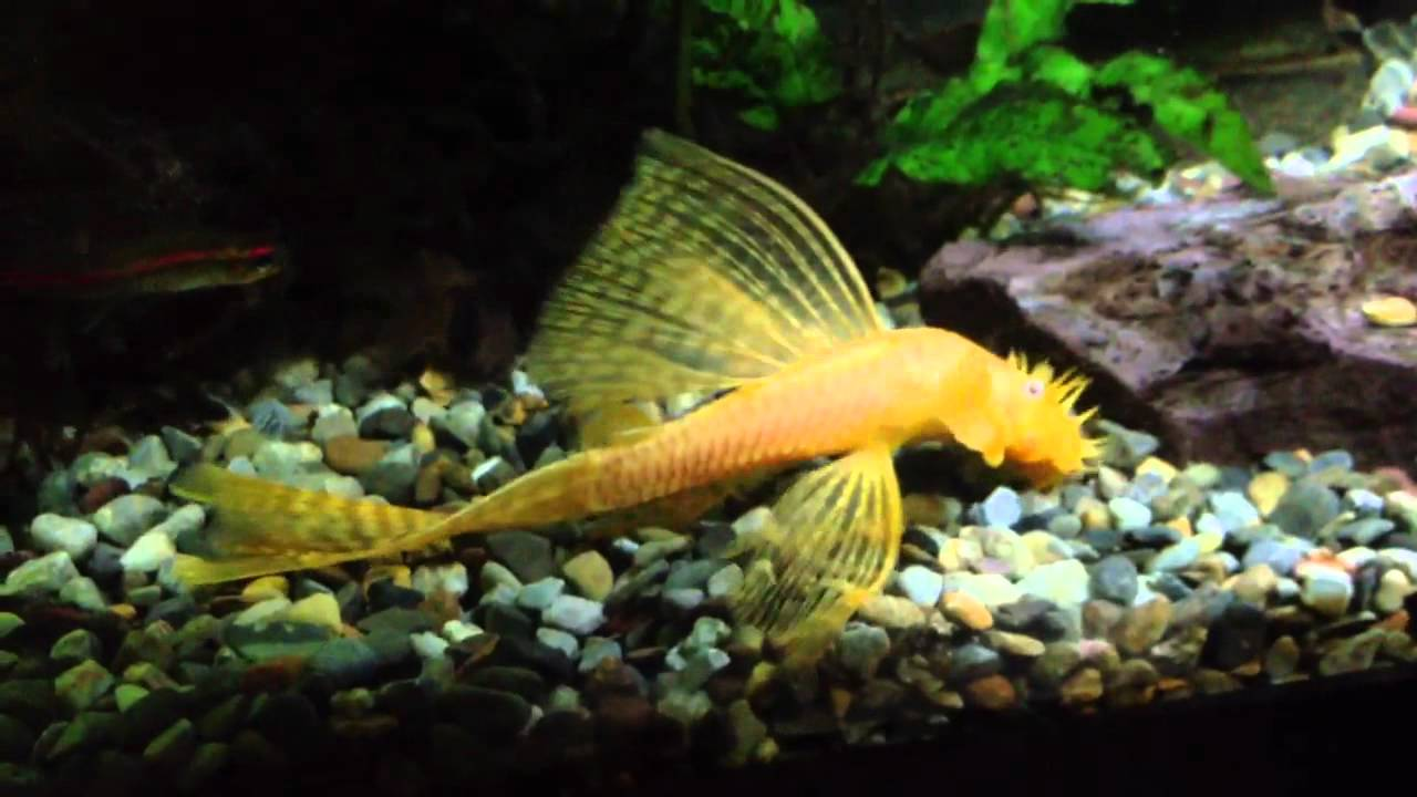 What is an albino bristlenose pleco?