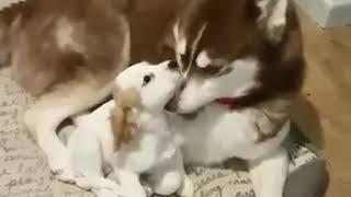 Puppy attack Husky