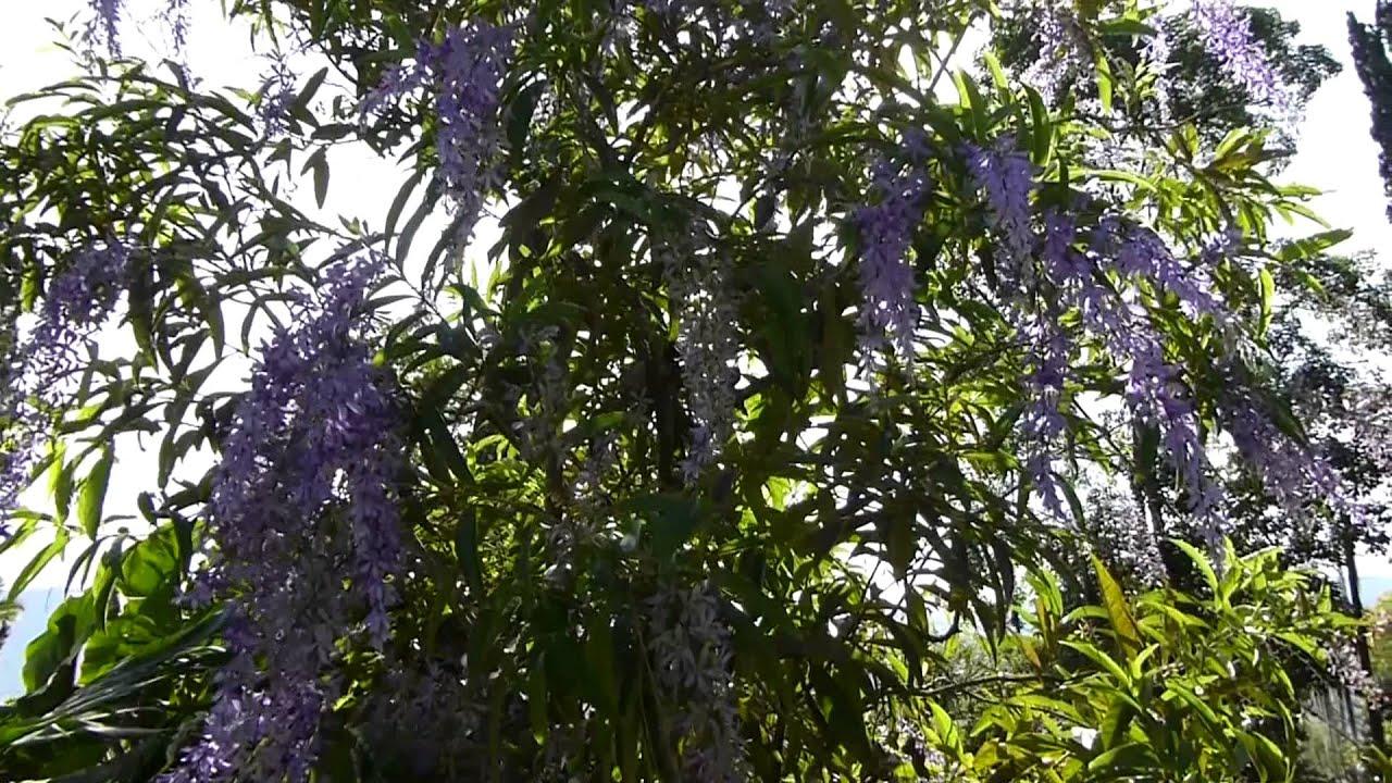 5906 arbustos con flores moradas se mueve con el viento for Arbustos ornamentales de exterior