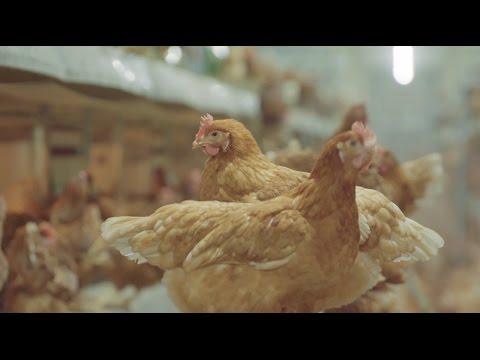 Rob Peffer: An Australian Barn Egg Farmer