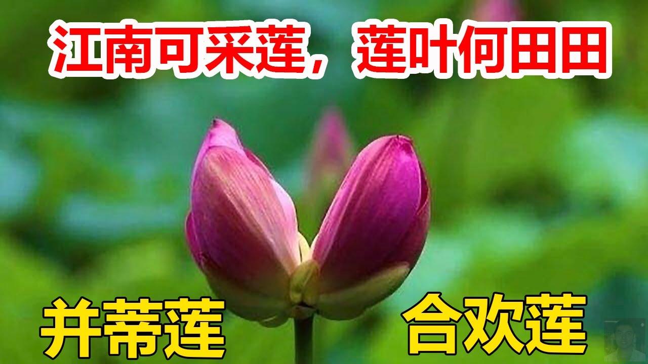 并蒂莲是荷花中的珍品,✳️一茎产两花,花各有蒂🌍江南可采莲,莲叶何田田。✅【并蒂莲】异常珍贵,是吉祥、美好的象征。
