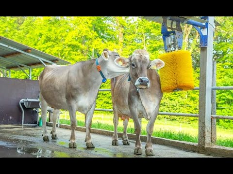 Xylazine In Cattle (sedative And Tranquilizer)