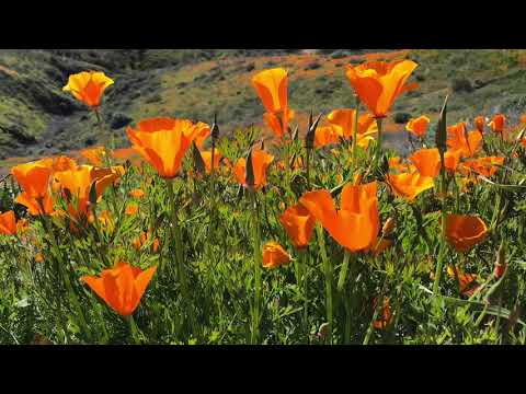 Poppy Fields Bloom in Lake Elsinore, California 2-23-2019