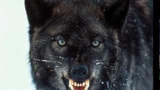 Wycie Wilków ☺