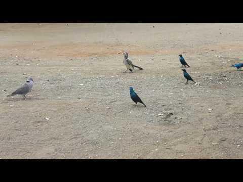 20170730 134948   Vogelgekte bij de kanarie, Kruger NP