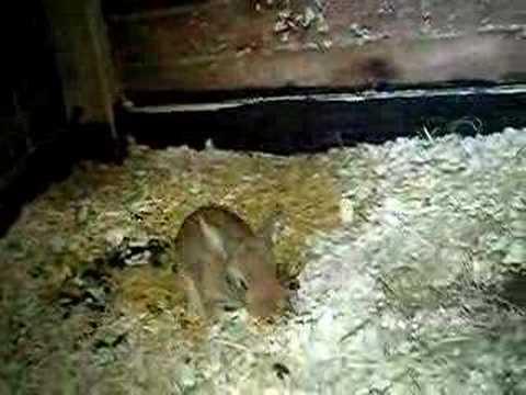 continental giant rabbit bab..