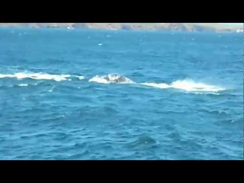 Orcas & Grey Whale calf in the Channel Islands - by Sea Jay Sportfishing