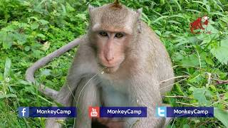 Are you sleepy? What are you doing? Because of sleepy he lie-down on the grass,Monkey Camp part 1162 thumbnail