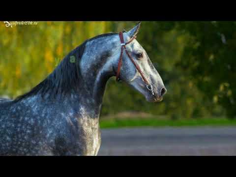 Порода лошади - Орловский рысак