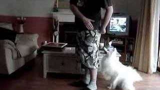 Japanese Spitz Dog Training