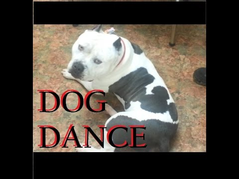 Pitbull Dog Dance