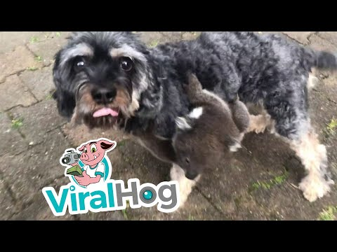 Nick Wize - Baby Koala Mistakes Doggy for its Mother