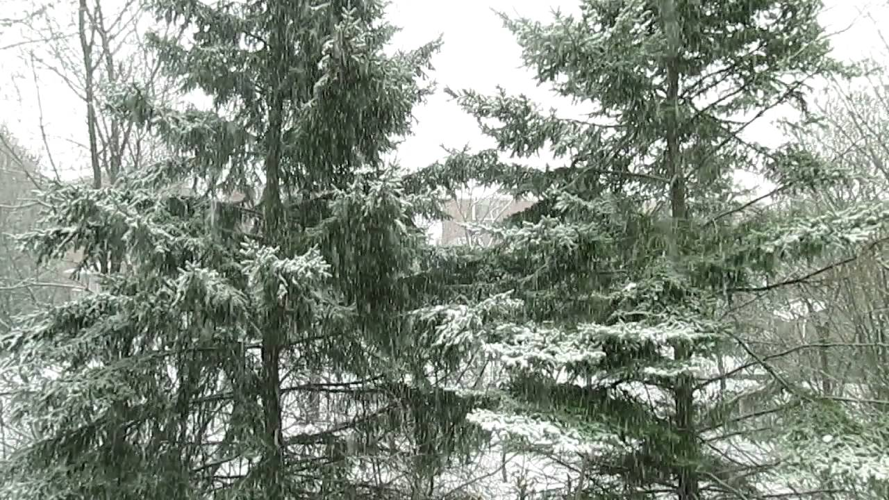 Snow storm pine trees youtube - Images of pine trees in snow ...