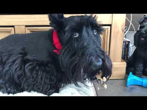 Guilty Scottish Terrier