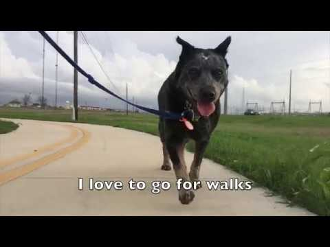 Hope will be your best friend! Adopt her from Texas Cattle Dog Rescue