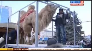 Видео дня Эльбрус Нигматуллин поднял 700 килограммового верблюда