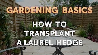 How to Transplant a Laurel Hedge