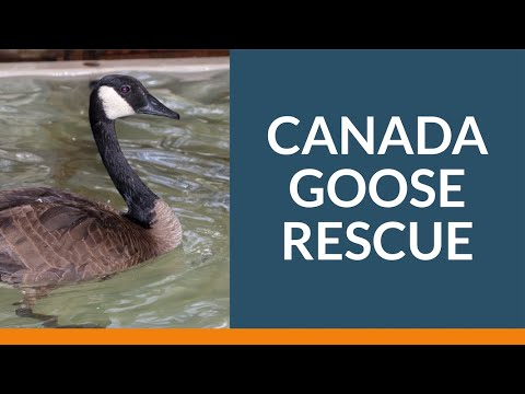 Canada Goose Rescue And Release | Wildlife Rescue Association Of BC