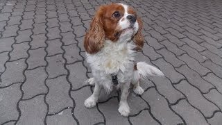 Cavalier King Charles Spaniel - Today I Do Not Play With You - [paca]