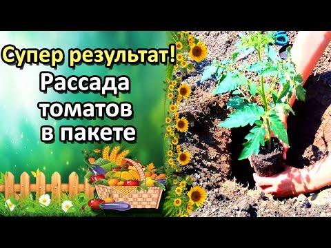 Как вырастить помидоры на подоконнике в горшке