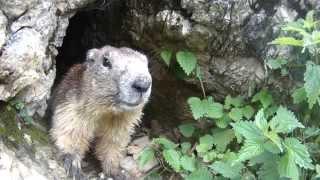 La marmotte de Vanoise