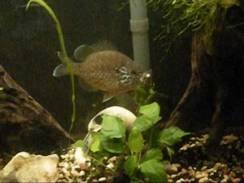 Pumkinseed (Lepomis Gibbosus) eating a nightcrawler