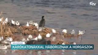 Kárókatonákkal háborúznak a horgászok – Erdélyi Magyar Televízió