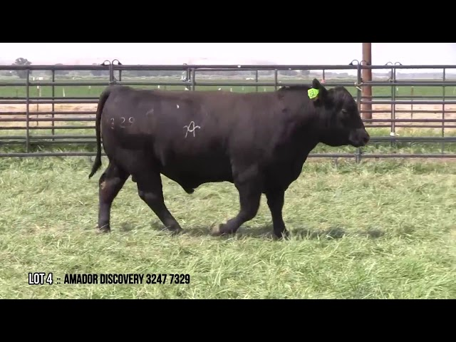 Mid Valley Bull Sale Lot 4