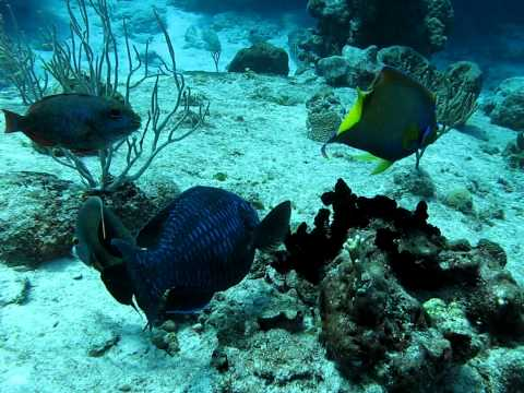 Parrotfish and Angelfish, Paradise Reef, Cozumel September 14, 2008