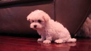 Aca/maltese Puppies | Wags-ace-dixie