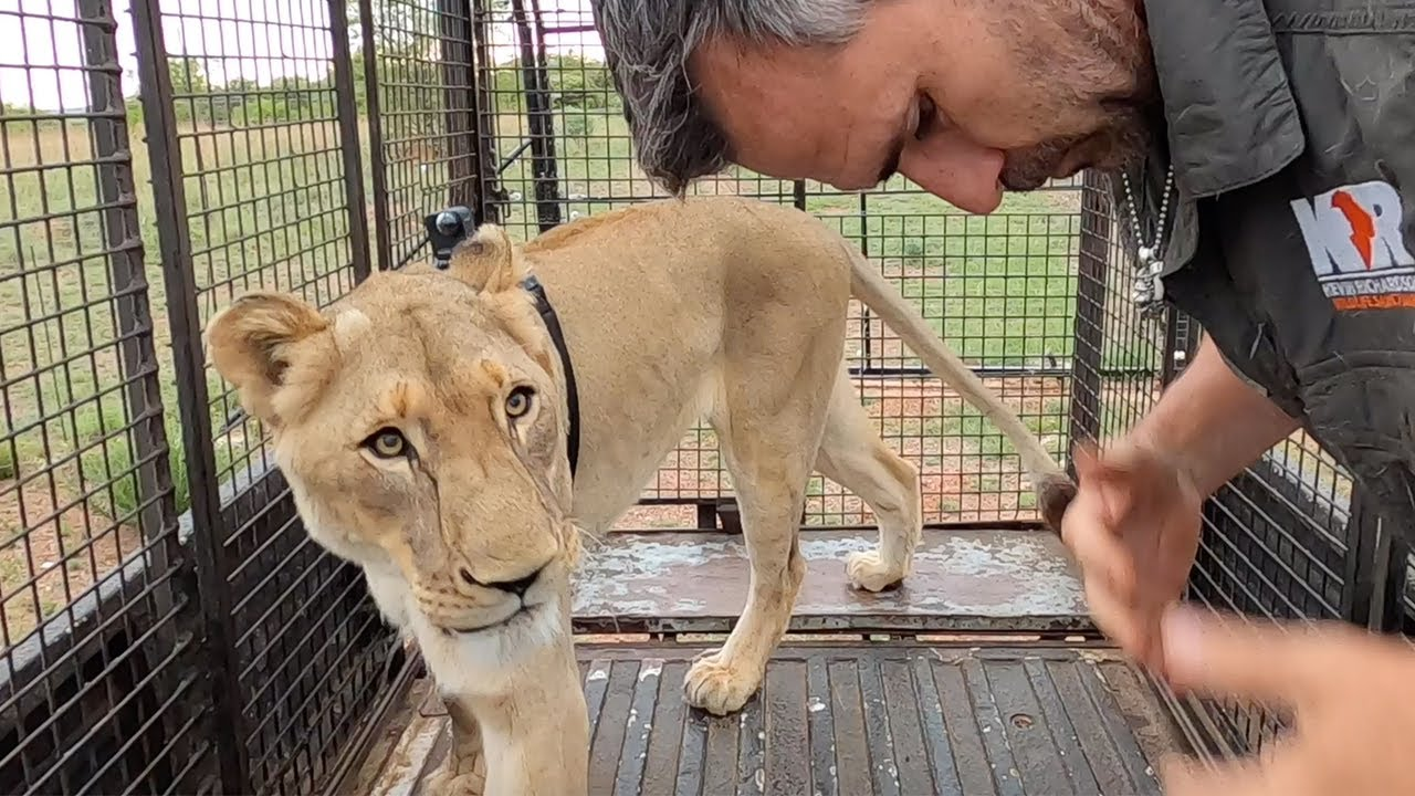 Male Lions and Lion Prides with #AskMeg    The Lion Whisperer