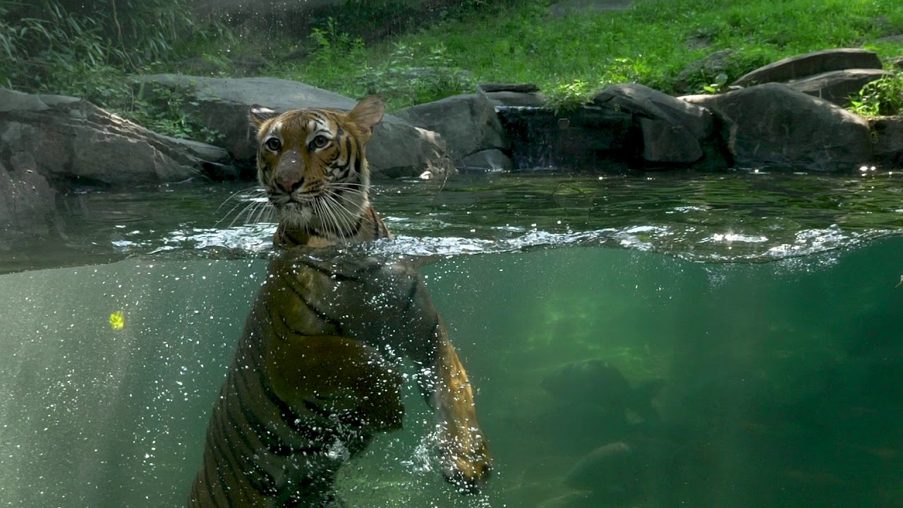 Azul In The Pool Bronx Zoo Tiger Mountain Youtube