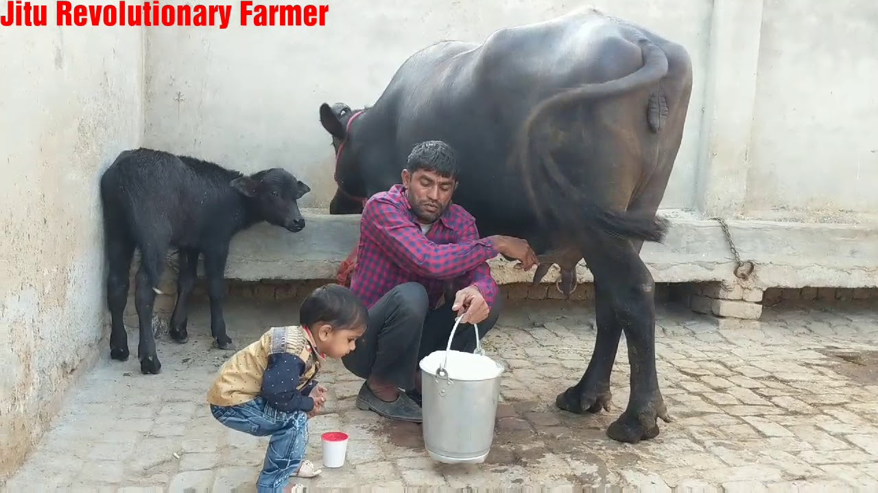 FOR SALE - Price 1 30 lakhs- Pure Murrah Buffalo(15 Litres) available for  Buyers Full milking video