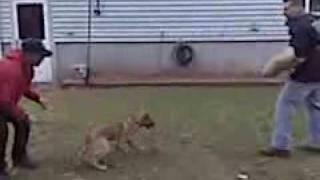 Trouwe Hond K-9 & Boston Dog House - Dog Training Specialist