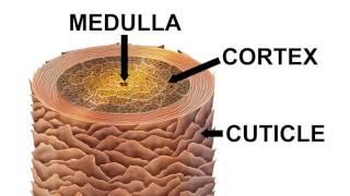 видео Структура волос