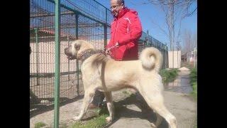 Kangal ve Çoban Köpekleri -Köy Tv - Kangaltürk Röportajı