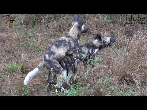 African Wild Dog Pups Eat And Play (4K Video)