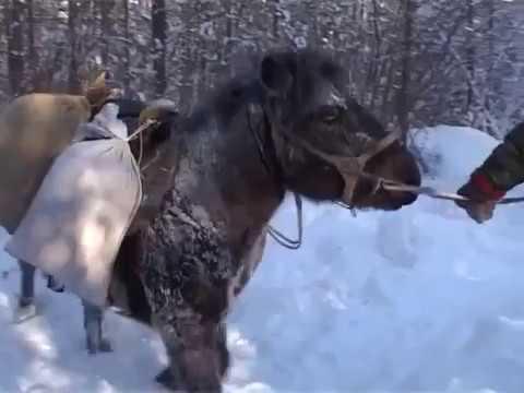 Russia  Hunting in taiga A bears den