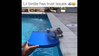 Scared Little Bird trying to get into the swimming pool  yomamaitsjoemama