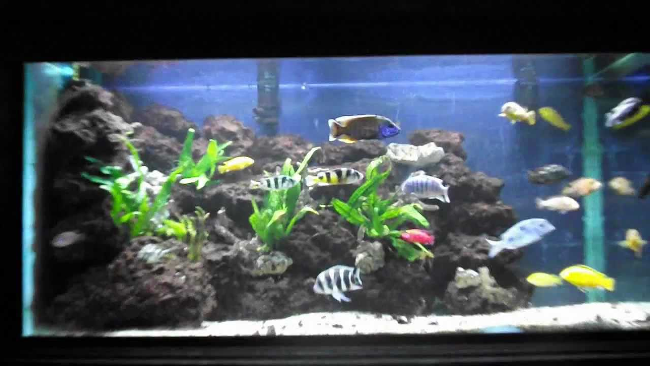aquarium cichlid africain 3 ans plus tard youtube. Black Bedroom Furniture Sets. Home Design Ideas