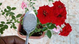 Use esse Pó em suas Rosas e Veja o que vai Acontecer