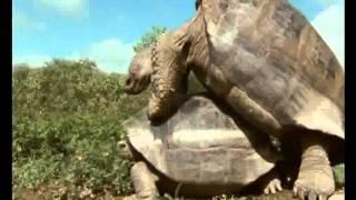 Спаривание слоновых черепах DA1_Educational movie is used on batrachos.com