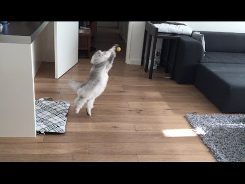 Milkshake The Cat Playing With Little Ball