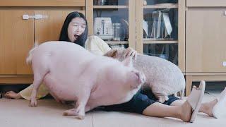 Q:돼지들은 주인을 따…