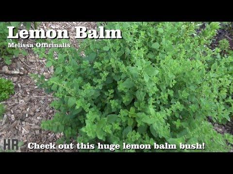 ⟹-lemon-balm-|-melissa-officinalis-|-check-out-this-huge-lemon-balm-bush