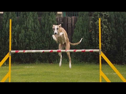 24.5. Agility with whippets